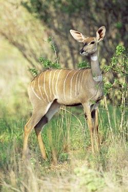 Female lesser kudu Adult Female,Adult,Chordates,Chordata,Bovidae,Bison, Cattle, Sheep, Goats, Antelopes,Even-toed Ungulates,Artiodactyla,Mammalia,Mammals,Near Threatened,Terrestrial,Africa,Tragelaphus,Animalia,Cetartiod