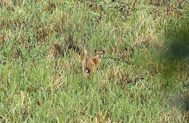 Female sitatunga in habitat Species in habitat shot,Habitat,Mammalia,Mammals,Even-toed Ungulates,Artiodactyla,Chordates,Chordata,Bovidae,Bison, Cattle, Sheep, Goats, Antelopes,Wetlands,Savannah,Tragelaphus,Animalia,Least Concern
