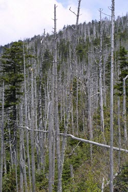 Stand of dead Fraser fir trees Introduced species,Threats to existence,Mature form,Plantae,Coniferales,IUCN Red List,Endangered,Terrestrial,Abies,Tracheophyta,Mountains,Coniferopsida,fraseri,North America,Pinaceae