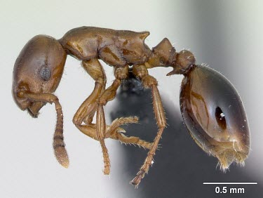 Worker shining guest ant specimen, profile Formicoxenus,Europe,Vulnerable,Insecta,Asia,Arthropoda,Terrestrial,nitidulus,Animalia,Hymenoptera,Broadleaved,Formicidae,Carnivorous,IUCN Red List