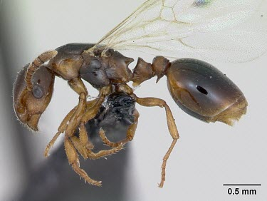 Winged queen shining guest ant specimen, profile Formicoxenus,Europe,Vulnerable,Insecta,Asia,Arthropoda,Terrestrial,nitidulus,Animalia,Hymenoptera,Broadleaved,Formicidae,Carnivorous,IUCN Red List