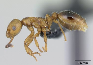 Male shining guest ant specimen, profile Formicoxenus,Europe,Vulnerable,Insecta,Asia,Arthropoda,Terrestrial,nitidulus,Animalia,Hymenoptera,Broadleaved,Formicidae,Carnivorous,IUCN Red List