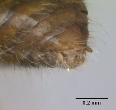 Male Harpagoxenus canadensis specimen, posterior view Ants,Formicidae,Sawflies, Ants, Wasps, Bees,Hymenoptera,Insects,Insecta,Arthropoda,Arthropods,Wetlands,Animalia,Terrestrial,Vulnerable,Forest,North America,IUCN Red List,Harpogoxenus