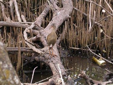 Plain-flanked rail in mangrove forest Adult,Omnivorous,Animalia,South America,Aves,Rallidae,Gruiformes,Salt marsh,wetmorei,Rallus,Terrestrial,Endangered,Mangrove,Chordata,IUCN Red List