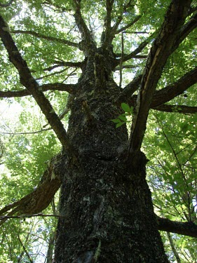 Rauli tree Mature form,Terrestrial,Nothofagus,Plantae,alpina,IUCN Red List,Fagales,Fagaceae,Tracheophyta,Photosynthetic,Near Threatened,South America,Magnoliopsida