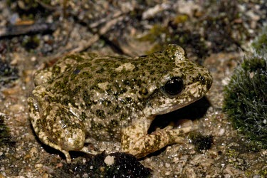 Betic midwife toad camouflaged against pebbles and moss Adult,Vulnerable,Streams and rivers,Omnivorous,Ponds and lakes,Alytes,Forest,Fresh water,Animalia,Aquatic,Temperate,Mountains,Alytidae,Terrestrial,Europe,Coniferous,Broadleaved,Anura,Amphibia,IUCN Red