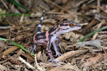 Kuroiwa's ground gecko (G.k.orientalis) Adult,Carnivorous,Terrestrial,IUCN Red List,Goniosaurus,Chordata,Sub-tropical,Reptilia,Forest,Asia,Gekkonidae,Animalia,Squamata,Endangered