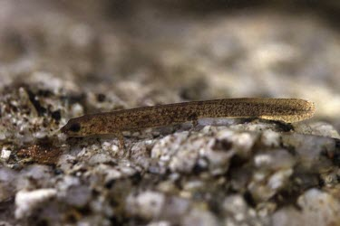 Gold-striped salamander larva Reproduction,Various larval or tadpole stages,Various larval stages,Subterranean,Vulnerable,Mountains,Streams and rivers,Temperate,Amphibia,Chioglossa,Chordata,Caudata,Rock,Animalia,Europe,lusitanica,
