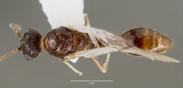 Male Harpagoxenus canadensis specimen, dorsal view Ants,Formicidae,Sawflies, Ants, Wasps, Bees,Hymenoptera,Insects,Insecta,Arthropoda,Arthropods,Wetlands,Animalia,Terrestrial,Vulnerable,Forest,North America,IUCN Red List,Harpogoxenus