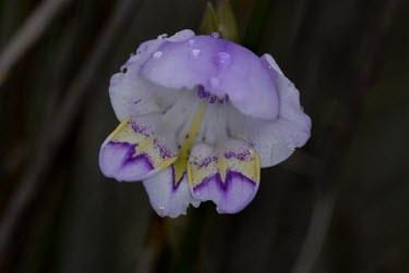 Gladiolus rogersii flower Flower,Tracheophyta,Photosynthetic,Magnoliopsida,Africa,Terrestrial,Gladiolus,Liliales,Plantae,Iridaceae