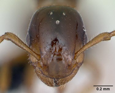 Winged queen shining guest ant specimen, head detail Formicoxenus,Europe,Vulnerable,Insecta,Asia,Arthropoda,Terrestrial,nitidulus,Animalia,Hymenoptera,Broadleaved,Formicidae,Carnivorous,IUCN Red List