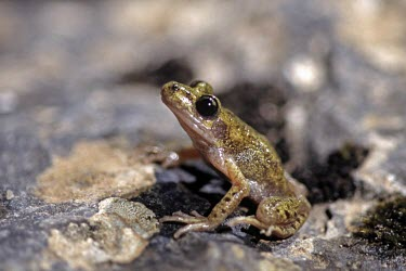 Side profile of Mallorcan midwife toad Adult,Terrestrial,Discoglossidae,muletensis,Anura,Critically Endangered,Europe,Animalia,Chordata,Aquatic,Streams and rivers,Alytes,Carnivorous,Amphibia,IUCN Red List,Vulnerable