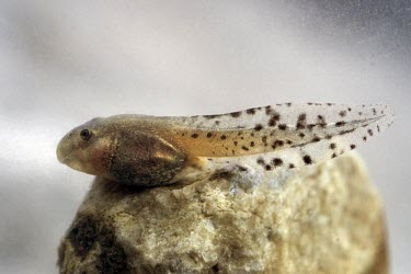 Mallorcan midwife toad tadpole on stone Reproduction,Various larval stages,Various larval or tadpole stages,Terrestrial,Discoglossidae,muletensis,Anura,Critically Endangered,Europe,Animalia,Chordata,Aquatic,Streams and rivers,Alytes,Carnivo