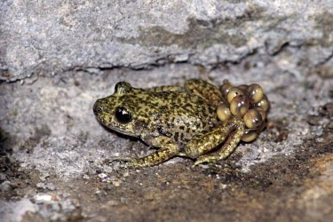 Male Mallorcan midwife toad carrying developing eggs Adult Male,Adult,Eggs,Terrestrial,Discoglossidae,muletensis,Anura,Critically Endangered,Europe,Animalia,Chordata,Aquatic,Streams and rivers,Alytes,Carnivorous,Amphibia,IUCN Red List,Vulnerable