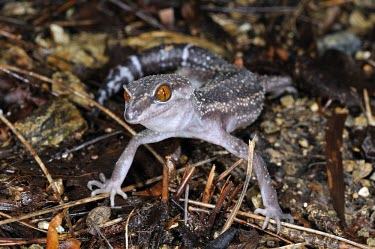 Kuroiwa's ground gecko (G.k.kuroiwae) Adult,Carnivorous,Terrestrial,IUCN Red List,Goniosaurus,Chordata,Sub-tropical,Reptilia,Forest,Asia,Gekkonidae,Animalia,Squamata,Endangered