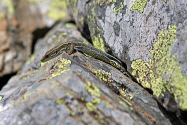 Aurelio's rock lizard climbing out of rock crevice Adult,Endangered,Terrestrial,aurelioi,Animalia,Chordata,Reptilia,Squamata,Temperate,Lacertidae,Europe,Iberolacerta,IUCN Red List
