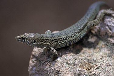Podarcis lilfordi gigliolii Adult,Habitat,Species in habitat shot,Omnivorous,Scrub,Rock,Terrestrial,IUCN Red List,Squamata,Lacertidae,Endangered,Europe,Reptilia,Podarcis,Chordata,Animalia