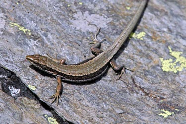 Aurelio's rock lizard on rock Adult,Endangered,Terrestrial,aurelioi,Animalia,Chordata,Reptilia,Squamata,Temperate,Lacertidae,Europe,Iberolacerta,IUCN Red List