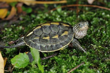 Chinese stripe-necked turtle Adult,Asia,Omnivorous,Sub-tropical,Animalia,Chordata,Tropical,Endangered,Bataguridae,sinensis,Broadleaved,Testudines,Reptilia,Ocadia,Aquatic,Appendix III,Fresh water,Terrestrial,IUCN Red List
