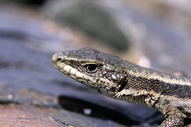 Aran rock lizard head, head detail Adult,Europe,Animalia,Critically Endangered,Terrestrial,Lacertidae,Temperate,Reptilia,Iberolacerta,Squamata,aranica,Chordata,IUCN Red List,Endangered