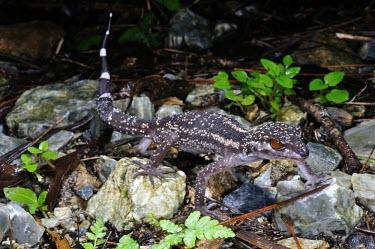 Kuroiwa's ground gecko (G.k.kuroiwae) Species in habitat shot,Adult,Habitat,Carnivorous,Terrestrial,IUCN Red List,Goniosaurus,Chordata,Sub-tropical,Reptilia,Forest,Asia,Gekkonidae,Animalia,Squamata,Endangered