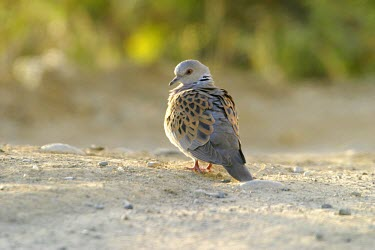 Turtle dove on ground Adult,Pigeons and Doves,Columbiformes,Pigeons, Doves,Columbidae,Aves,Birds,Chordates,Chordata,Africa,Animalia,Herbivorous,IUCN Red List,Europe,Flying,turtur,Streptopelia,Agricultural,Least Concern