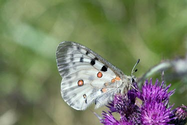 Apollo butterfly with wings closed, gathering nectar Europe,Flying,Papilionidae,apollo,Mountains,Temperate,Asia,Insecta,Arthropoda,Lepidoptera,Appendix II,Vulnerable,Animalia,Parnassius,Fluid-feeding,IUCN Red List