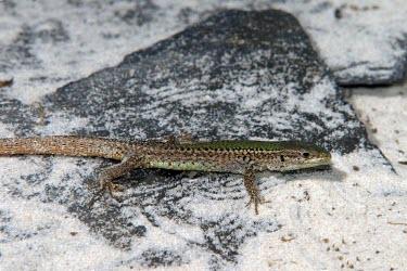 Skyros wall lizard Adult,Europe,Terrestrial,Omnivorous,Animalia,Vulnerable,Squamata,Rock,Lacertidae,Chordata,Scrub,Podarcis,Reptilia,IUCN Red List