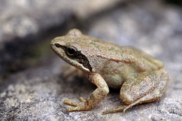 Pyrenean frog Adult,Aquatic,IUCN Red List,pyrenaica,Ranidae,Animalia,Carnivorous,Fresh water,Terrestrial,Anura,Rana,Europe,Endangered,Chordata,Streams and rivers,Amphibia