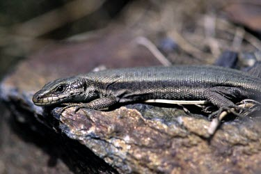 Aran rock lizard, side view Adult,Europe,Animalia,Critically Endangered,Terrestrial,Lacertidae,Temperate,Reptilia,Iberolacerta,Squamata,aranica,Chordata,IUCN Red List,Endangered