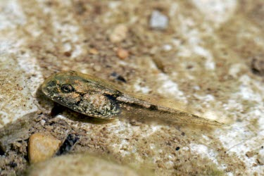 Betic midwife toad tadpole Various larval stages,Various larval or tadpole stages,Reproduction,Vulnerable,Streams and rivers,Omnivorous,Ponds and lakes,Alytes,Forest,Fresh water,Animalia,Aquatic,Temperate,Mountains,Alytidae,Ter