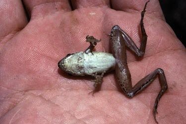 Italian agile frog on hand, ventral view Adult,Temperate,Amphibia,Anura,Europe,Ranidae,Terrestrial,Chordata,Streams and rivers,Rana,Vulnerable,Animalia,Aquatic,latastei,Wetlands,IUCN Red List