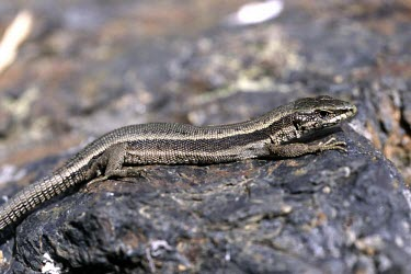 Aran rock lizard basking on a rock Adult,Europe,Animalia,Critically Endangered,Terrestrial,Lacertidae,Temperate,Reptilia,Iberolacerta,Squamata,aranica,Chordata,IUCN Red List,Endangered