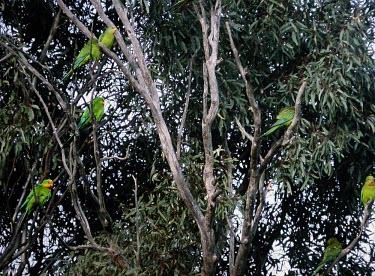Superb parrots in eucalyptus tree Adult,Habitat,Adult Male,Adult Female,Species in habitat shot,Appendix II,Flying,Omnivorous,Australia,Animalia,Arboreal,swainsonii,Chordata,Psittacidae,Polytelis,Forest,Least Concern,Aves,Psittaciform
