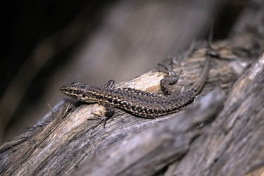 Aeolian wall lizard Adult,Animalia,IUCN Red List,Lacertidae,Rock,Chordata,Carnivorous,Critically Endangered,Aquatic,Podarcis,Reptilia,Europe,Squamata,Terrestrial
