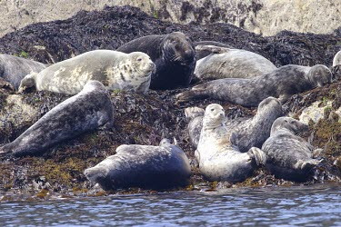 Grey seals basking on shore How does it live ?,Social behaviour,Mammalia,Mammals,Carnivores,Carnivora,Phocidae,True Seals,Chordates,Chordata,Coastal,Terrestrial,Animalia,Least Concern,Halichoerus,Europe,Aquatic,Pinnipedia,grypus