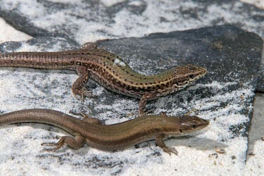 Skyros wall lizards Adult,Adult Male,Adult Female,Europe,Terrestrial,Omnivorous,Animalia,Vulnerable,Squamata,Rock,Lacertidae,Chordata,Scrub,Podarcis,Reptilia,IUCN Red List