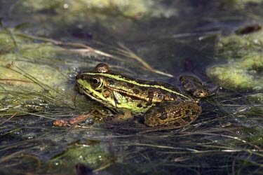 Epirus water frog partially submerged in water Adult,Pelophylax,Animalia,Vulnerable,Streams and rivers,Agricultural,epeiroticus,Anura,Aquatic,Terrestrial,Ranidae,Europe,Amphibia,Chordata,IUCN Red List