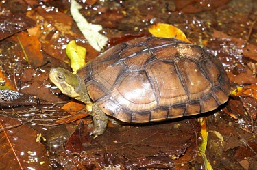 Asian yellow pond turtle Adult,Terrestrial,Animalia,Mauremys,Reptilia,Appendix II,Streams and rivers,mutica,Asia,Endangered,Aquatic,Ponds and lakes,Chordata,Geoemydidae,Omnivorous,Testudines,Fresh water,Wetlands,IUCN Red List