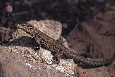 Podarcis lilfordi gigliolii Species in habitat shot,Adult,Habitat,Omnivorous,Scrub,Rock,Terrestrial,IUCN Red List,Squamata,Lacertidae,Endangered,Europe,Reptilia,Podarcis,Chordata,Animalia