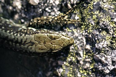 Iberian rock lizard head, dorsal view Adult,Squamata,Animalia,Scrub,Rock,Lacertidae,Chordata,Sub-tropical,Tropical,Reptilia,Vulnerable,Terrestrial,Europe,Iberolacerta,monticola,IUCN Red List