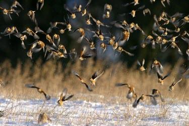 Linnet flock taking off over winter stubble Locomotion,Social behaviour,Take-off,How does it live ?,Flying,Animalia,Europe,Salt marsh,cannabina,Aves,IUCN Red List,Fringillidae,Chordata,Herbivorous,Heathland,Agricultural,Carduelis,Passeriformes,