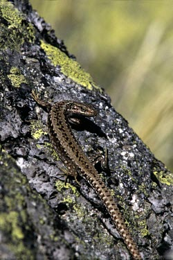 Carpetane rock lizard climbing up rock Adult,Chordata,Terrestrial,Carnivorous,cyreni,Europe,Iberolacerta,Lacertidae,Rock,Endangered,Squamata,Reptilia,Animalia,IUCN Red List