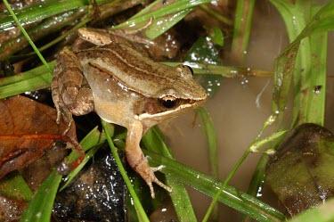 Ryukyu brown frog Adult,IUCN Red List,Chordata,Grassland,Fresh water,Forest,Aquatic,Tropical,Wetlands,Asia,Anura,Endangered,Ranidae,Terrestrial,Babina,Animalia,Amphibia,Sub-tropical
