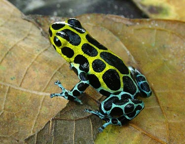 Zimmermanns poison frog, southern morph Adult,Appendix II,Arboreal,Omnivorous,South America,Amphibia,Chordata,Anura,Ranitomeya,Terrestrial,Tropical,Fresh water,Forest,Animalia,Temporary water,Dendrobatidae,variabilis,Data Deficient,CITES,IU