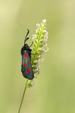 Six-spot burnet moth, side view Agricultural,Insecta,Sand-dune,Heathland,Europe,Animalia,Common,Fluid-feeding,Zygaena,Flying,Zygaenidae,Arthropoda,Lepidoptera,Temperate,Herbivorous,Urban