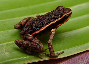 Ameerega rubriventris Adult,Rainforest,South America,Data Deficient,Ameerega,Streams and rivers,Forest,Aquatic,Dendrobatidae,Amphibia,Tropical,Anura,Terrestrial,Fresh water,Animalia,IUCN Red List,Chordata