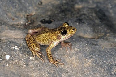 Mallorcan midwife toad Adult,Terrestrial,Discoglossidae,muletensis,Anura,Critically Endangered,Europe,Animalia,Chordata,Aquatic,Streams and rivers,Alytes,Carnivorous,Amphibia,IUCN Red List,Vulnerable