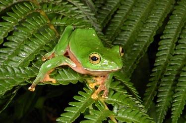 Orange-belly tree frog Adult,Tropical,Forest,Terrestrial,IUCN Red List,Anura,Animalia,Rhacophorus,Asia,Endangered,Rhacophoridae,Chordata,Sub-tropical,Amphibia