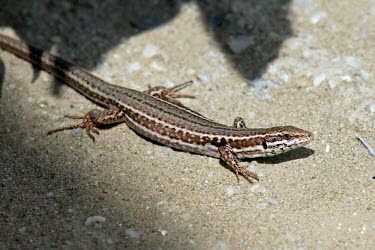 Female Skyros wall lizard Adult Female,Adult,Europe,Terrestrial,Omnivorous,Animalia,Vulnerable,Squamata,Rock,Lacertidae,Chordata,Scrub,Podarcis,Reptilia,IUCN Red List